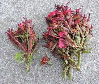 Plants infected with rose rosette disease rose rosette disease pictures