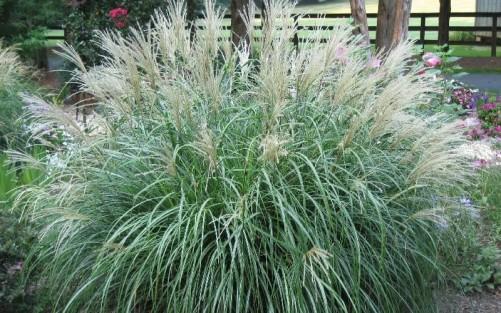 3108-Adagio-Dwarf-Maiden-Grass