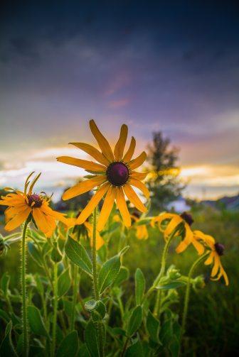 beautiful-beautiful-flowers-black-eyed-susan-1236943.jpg