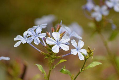 bloom-blossom-blue-plumbago-129258.jpg