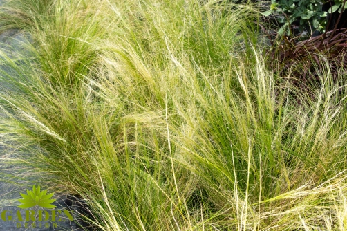 mexican feather grass 1.jpg