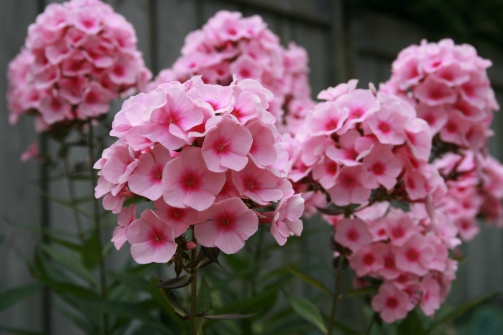 Phlox_paniculata_flower.jpg
