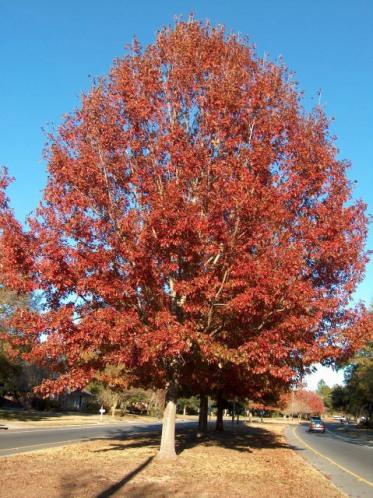 red_oak_tree_f_lg
